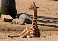 A baby giraffe born at the San Diego Safari Park.
