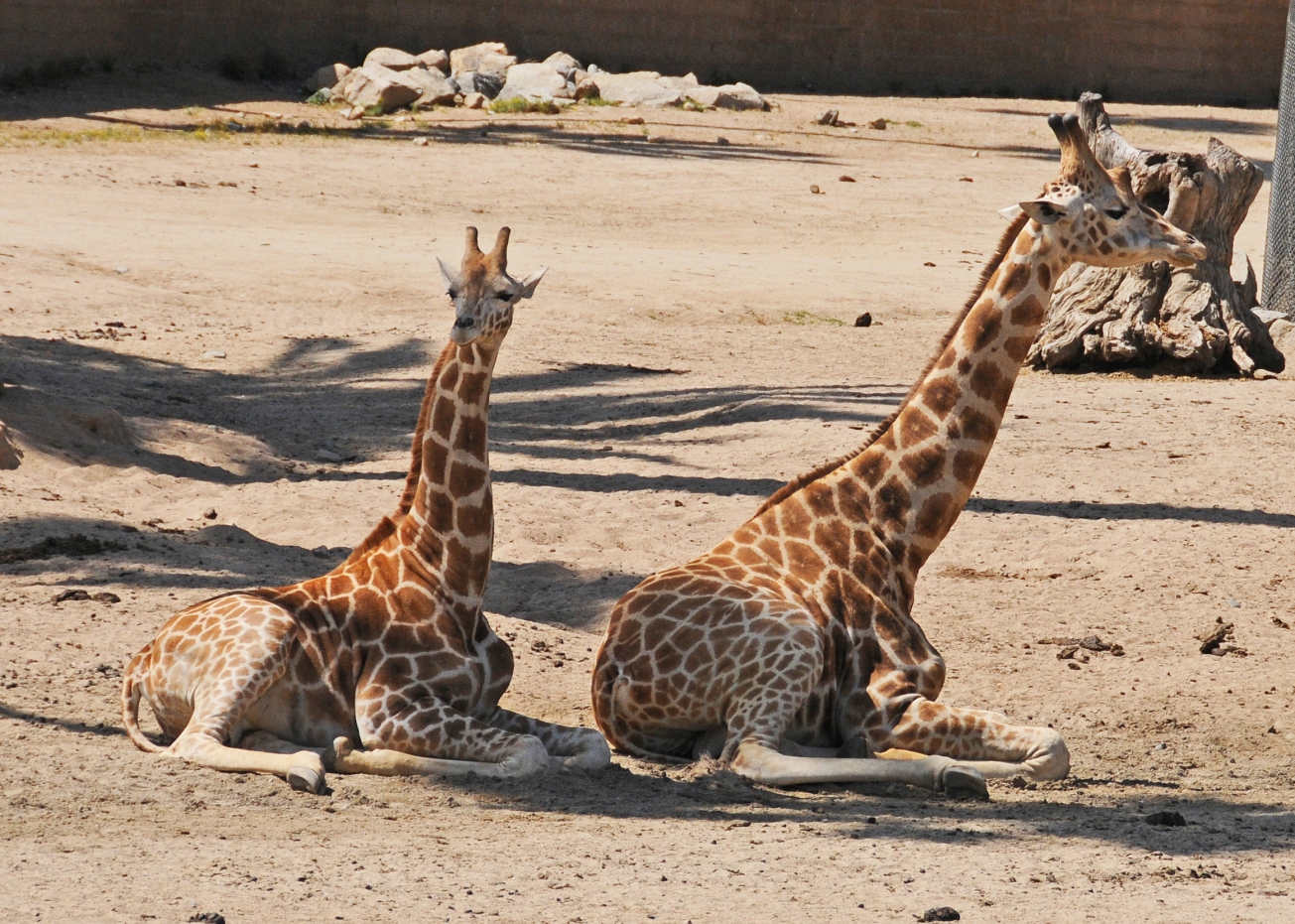 Mom and Baby Giraffes - San Diego Safari Park