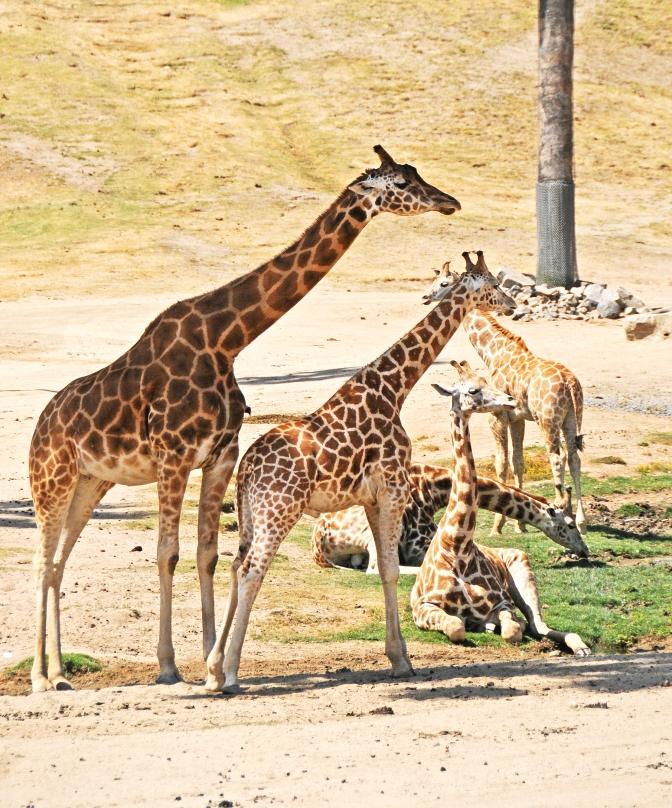 Hanging Out Giraffes - San Diego Safari Park