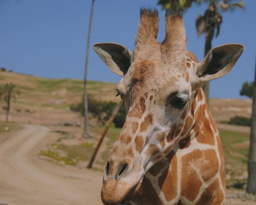 Beautiful Eyes - Giraffe - San Diego Safari Park