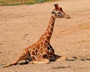 Baby Giraffe San Diego Safari Park