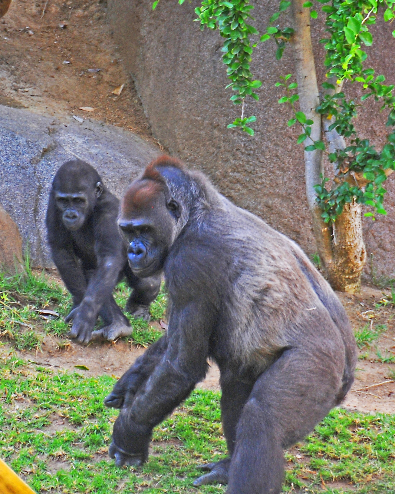 Beautiful Mom and Baby Gorilla