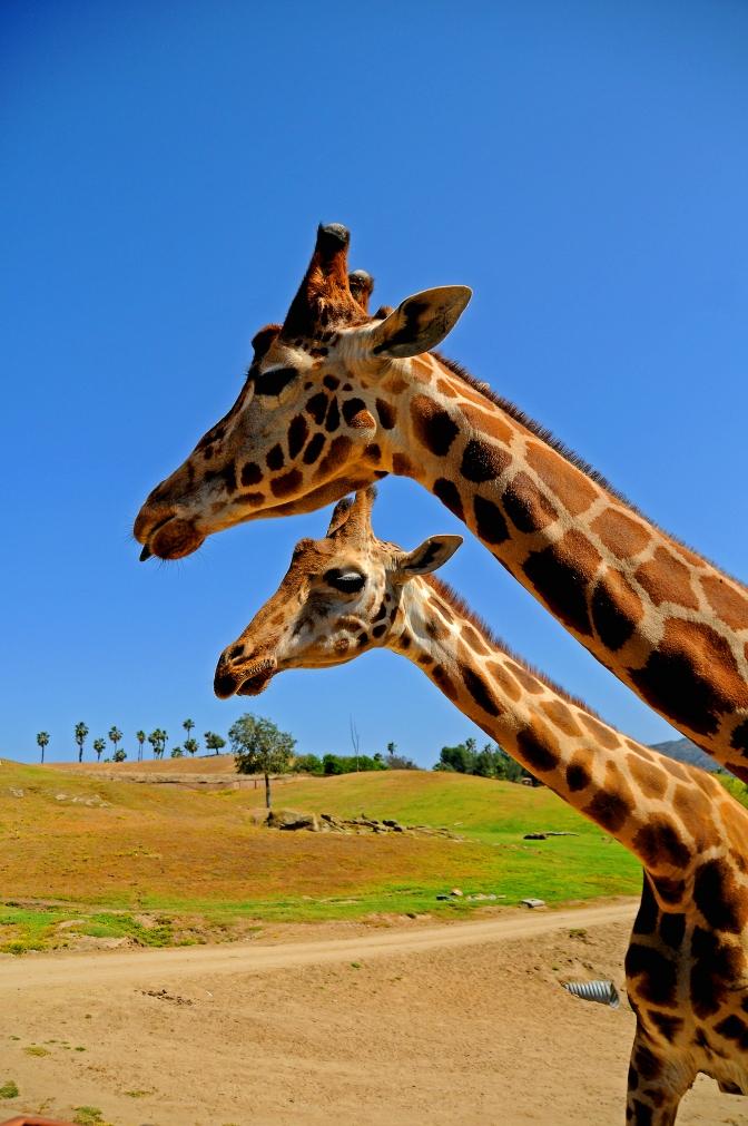 Mom and Baby Following Safari Truck - San Diego Safari Park