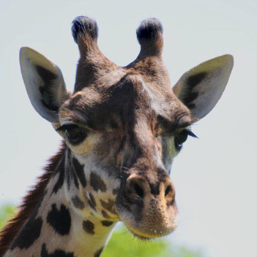 cropped-14834_young-giraffe.jpg