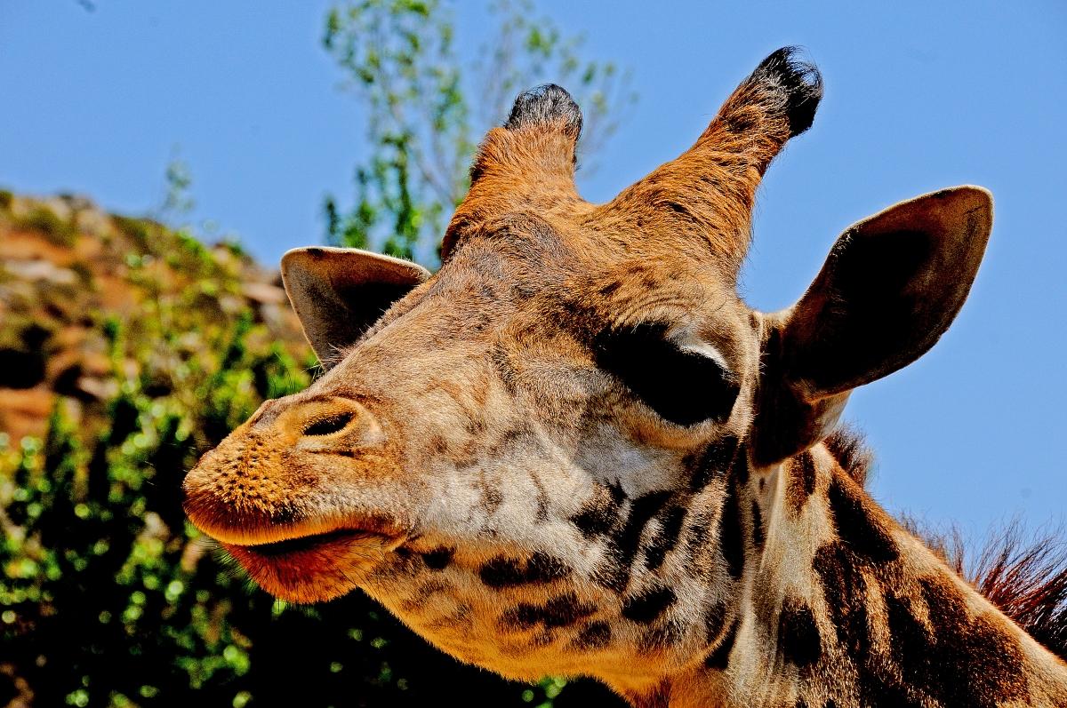 Gorgeous Giraffe San Diego Safari Park