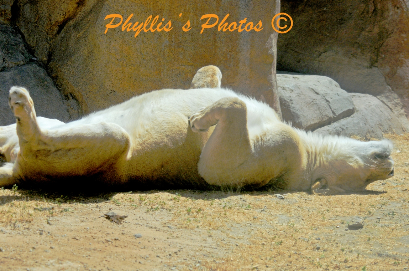 Just Relaxing Polar Bear Upside Down at San Diego Zoo.