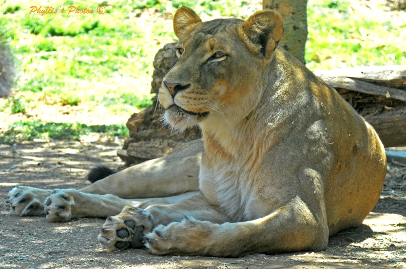 Lion Resting at San Diego Zoo.