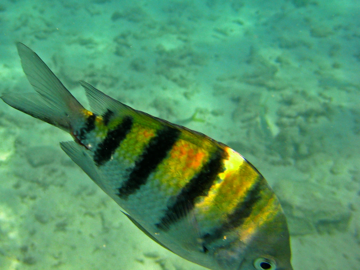 Large Yellow and Black Striped Fish.
