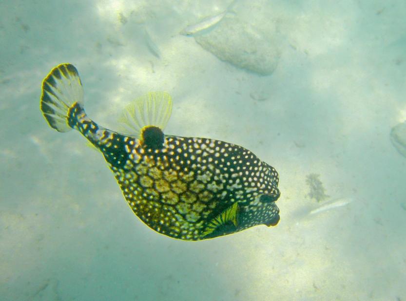 Trunkfish