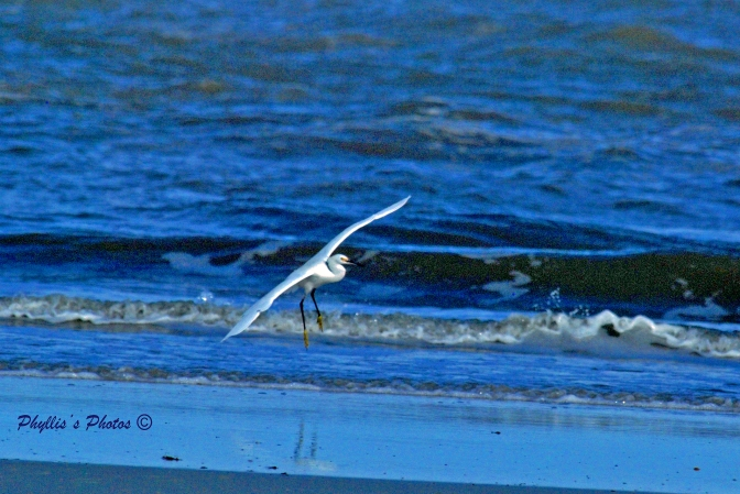 Snowy Egret Coming in for a Landing.