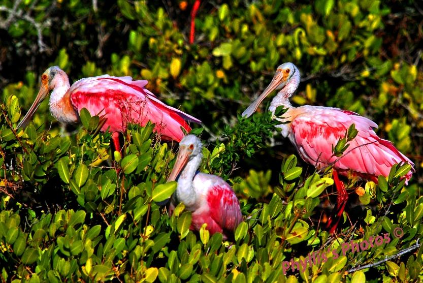Beautiful Roseate Spoonbills.