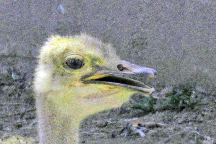 Young Ostridge