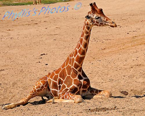 Baby Giraffe San Diego Safari Park.