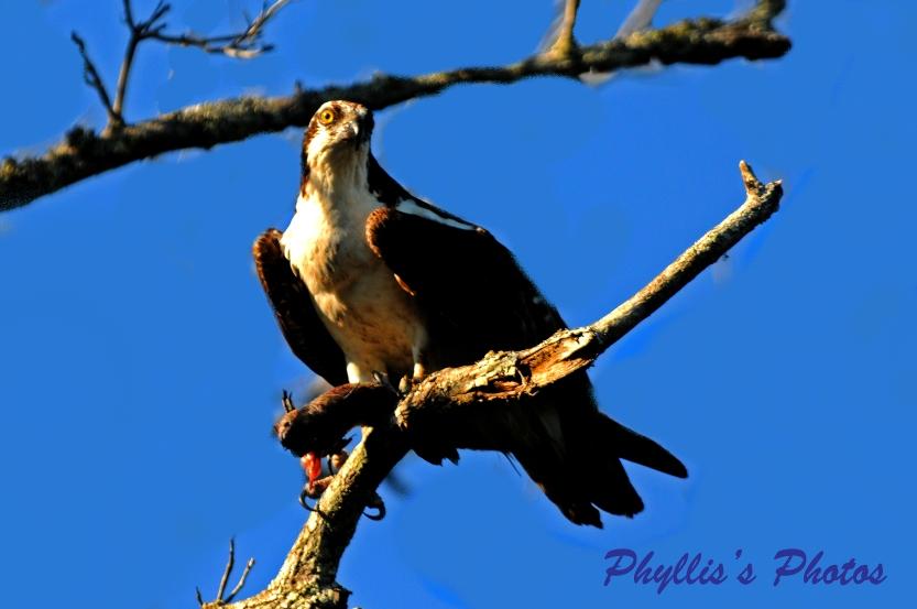 Fresh Catch - Osprey With Fish