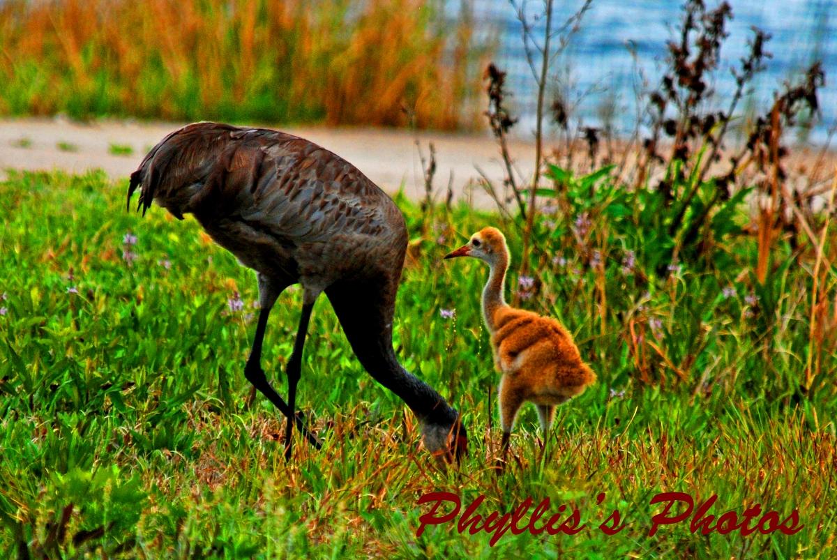Sandhilll Cranes With Babies