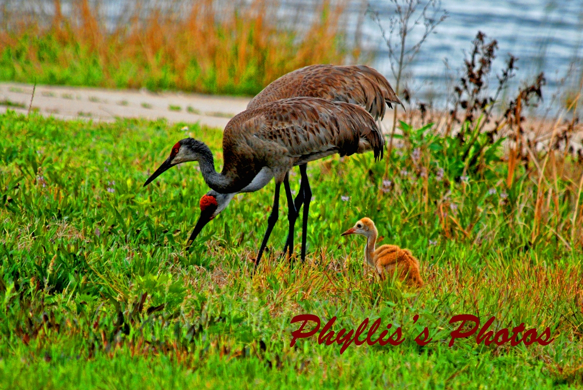 Sandhill Crane Family With Baby
