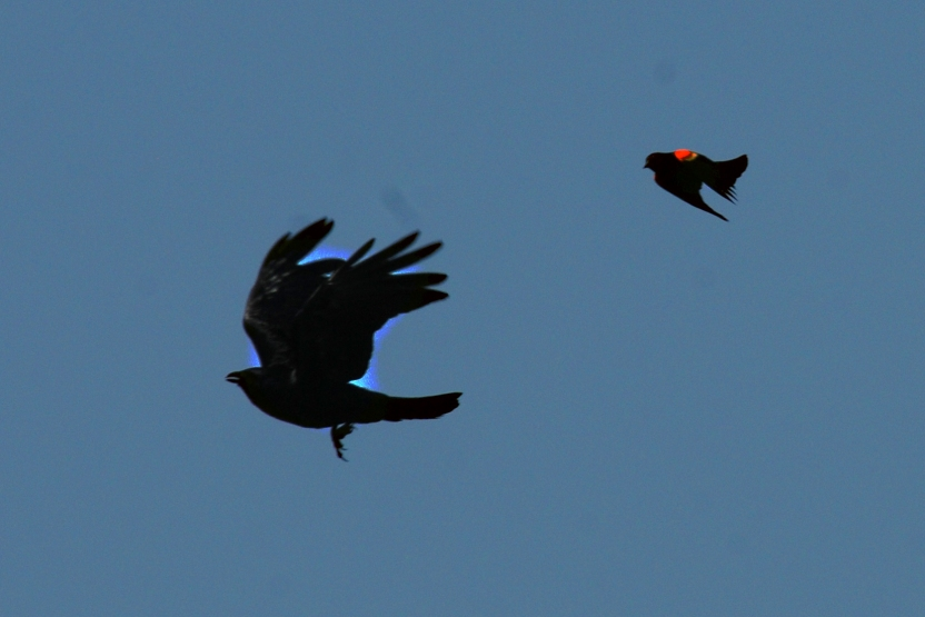 Chasing Blackbird