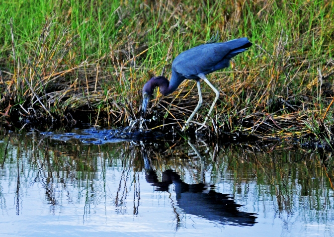 Looks Just Like Me Little Blue Heron