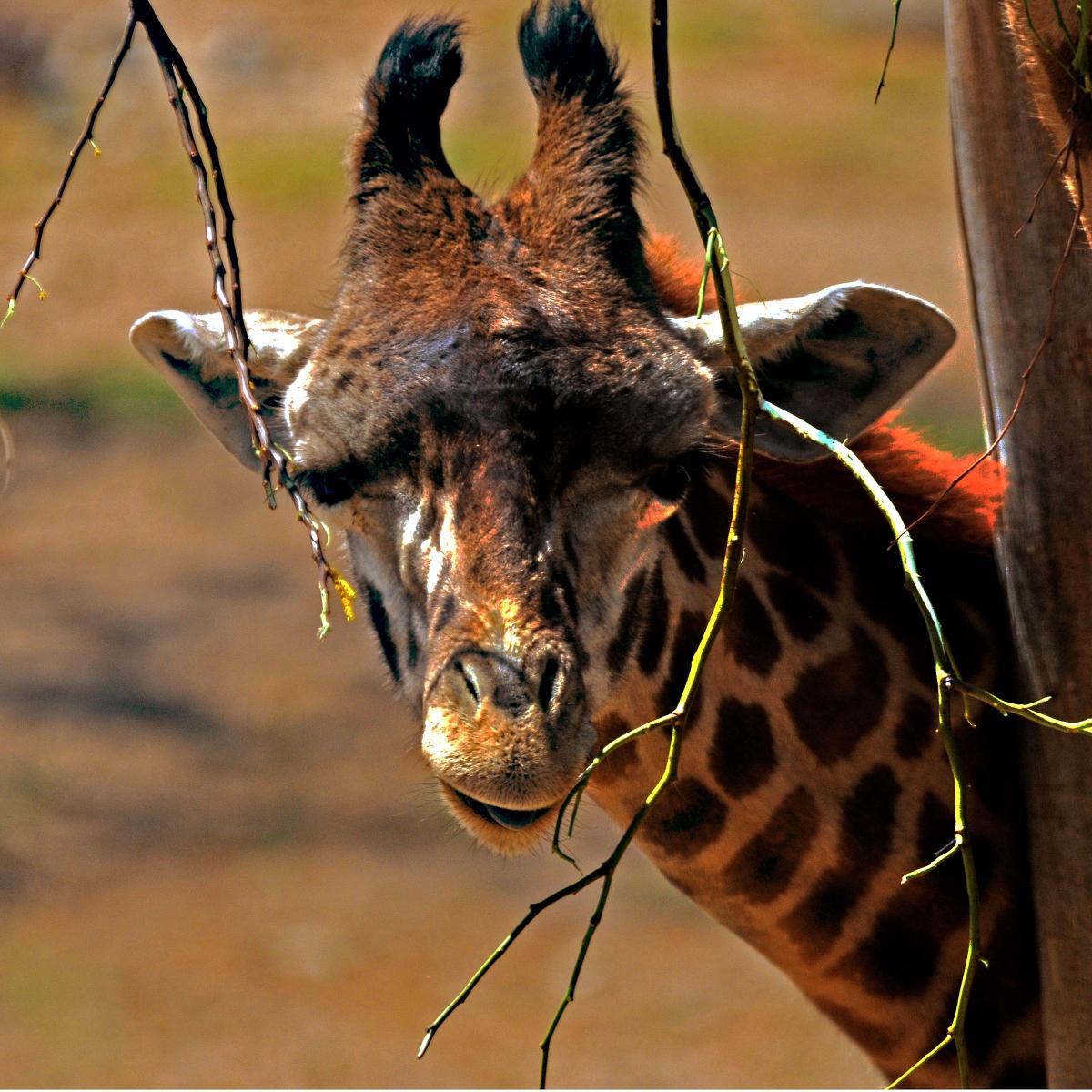 Giraffe Just Peeking