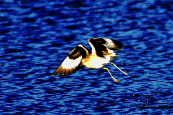 A beautiful bird taking off over the water. A beautiful site.