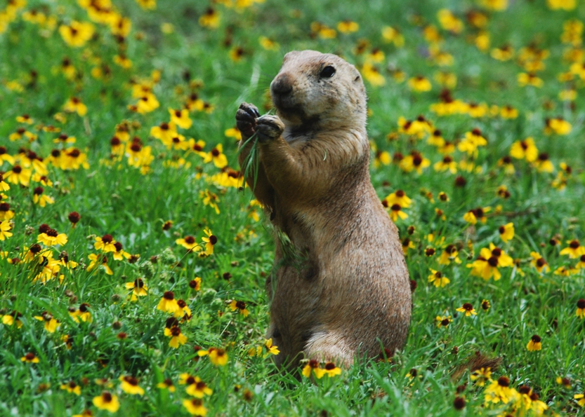 Adorable Prairie Dog in Prairie Dog Town in Oklahoma.