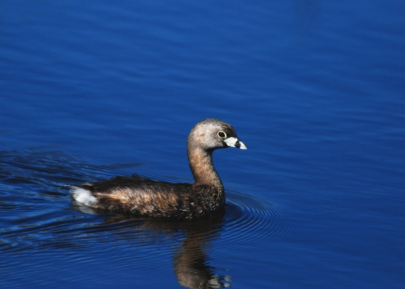 PIED-bnilled GREBE