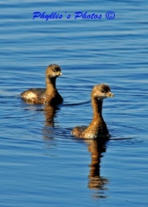 Sweet Pied-billed Grebes