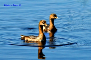 Cute Pair Pied-billed Grebes