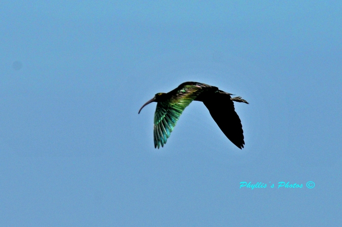 Glossy Feathers In Flight