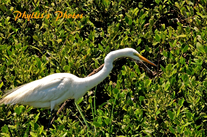 Great Egret Stick Hunting for Nesting Materials.