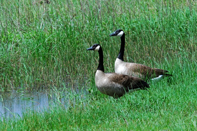 A Pair of Geese Looking Out Into The Marsh