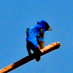 DSC_0452 (2) Blue Wonder